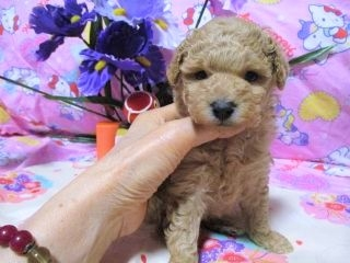 トイプードルの子犬(ID:1247311082)の3枚目の写真/更新日:2017-05-07
