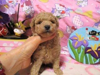 トイプードルの子犬(ID:1247311082)の4枚目の写真/更新日:2017-05-07