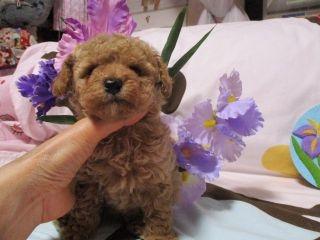 トイプードルの子犬(ID:1247311083)の1枚目の写真/更新日:2017-05-15