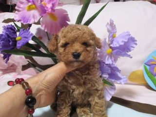 トイプードルの子犬(ID:1247311083)の2枚目の写真/更新日:2017-05-15