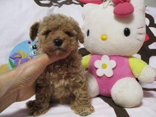 トイプードルの子犬(ID:1247311083)の3枚目の写真/更新日:2017-05-15