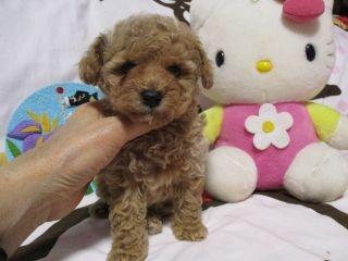 トイプードルの子犬(ID:1247311083)の4枚目の写真/更新日:2017-05-15