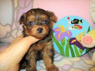 ミックスの子犬(ID:1247311084)の3枚目の写真/更新日:2017-05-11