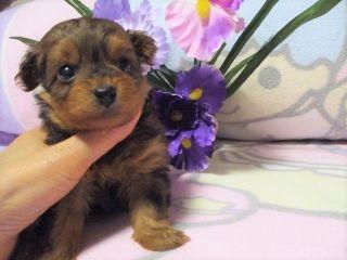 ミックスの子犬(ID:1247311084)の4枚目の写真/更新日:2017-05-11