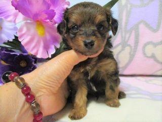 ミックスの子犬(ID:1247311085)の3枚目の写真/更新日:2017-05-11