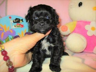 ミックスの子犬(ID:1247311086)の3枚目の写真/更新日:2017-05-11