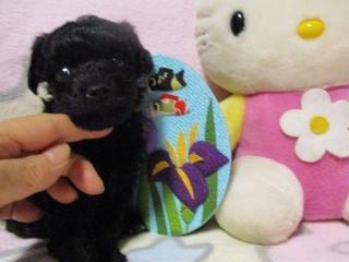 ミックスの子犬(ID:1247311087)の2枚目の写真/更新日:2017-05-11