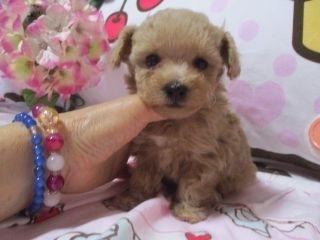 ミックスの子犬(ID:1247311089)の1枚目の写真/更新日:2017-05-11