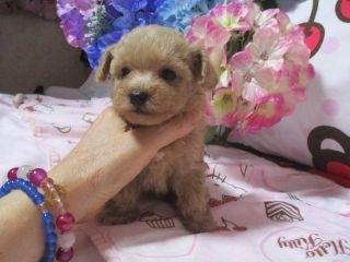 ミックスの子犬(ID:1247311089)の2枚目の写真/更新日:2017-05-11