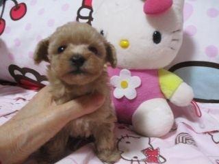 ミックスの子犬(ID:1247311089)の3枚目の写真/更新日:2017-05-11