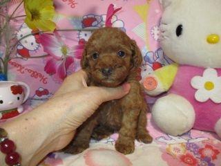 トイプードルの子犬(ID:1247311093)の2枚目の写真/更新日:2017-10-04