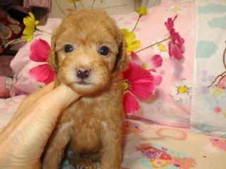トイプードルの子犬(ID:1247311095)の1枚目の写真/更新日:2017-10-16