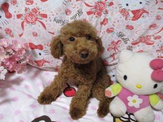 トイプードルの子犬(ID:1247311097)の3枚目の写真/更新日:2017-12-12
