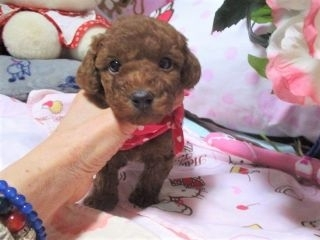 トイプードルの子犬(ID:1247311098)の2枚目の写真/更新日:2017-12-12