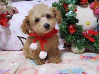 トイプードルの子犬(ID:1247311100)の1枚目の写真/更新日:2017-12-12
