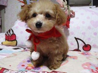 トイプードルの子犬(ID:1247311100)の3枚目の写真/更新日:2017-12-12