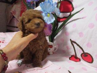 トイプードルの子犬(ID:1247311115)の4枚目の写真/更新日:2018-04-20