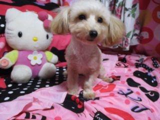 トイプードルの子犬(ID:1247311116)の2枚目の写真/更新日:2018-06-13