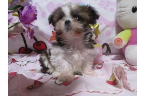 シーズーの子犬(ID:1247311121)の4枚目の写真/更新日:2021-05-05