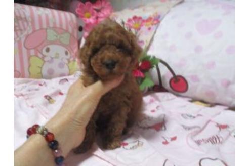 トイプードルの子犬(ID:1247311136)の1枚目の写真/更新日:2020-09-22