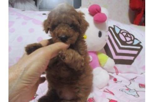 トイプードルの子犬(ID:1247311136)の3枚目の写真/更新日:2020-09-22