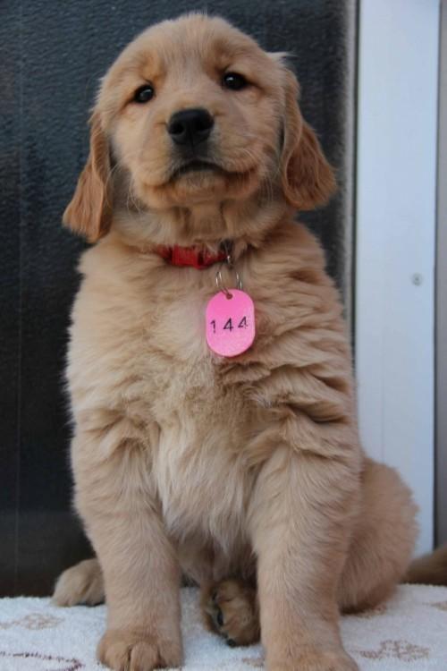 ゴールデンレトリバーの子犬(ID:1247411361)の2枚目の写真/更新日:2017-02-10