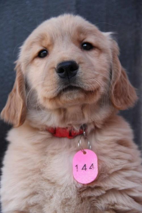 ゴールデンレトリバーの子犬(ID:1247411361)の5枚目の写真/更新日:2017-02-10