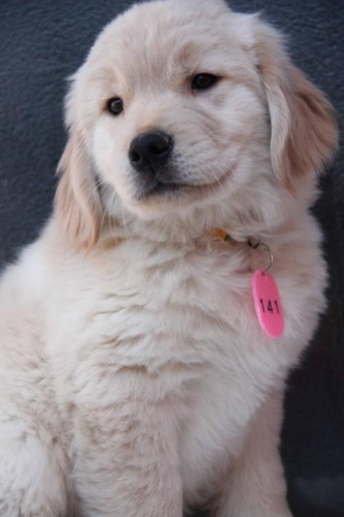 ゴールデンレトリバーの子犬(ID:1247411364)の1枚目の写真/更新日:2017-02-10