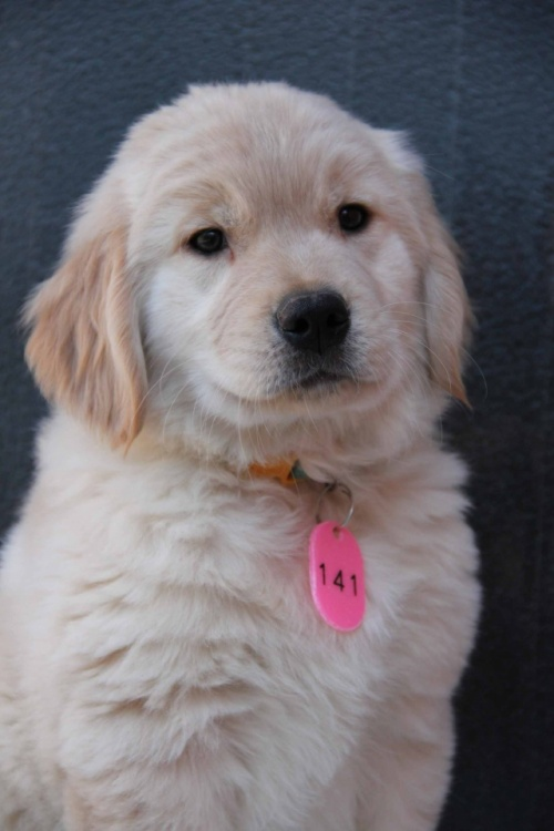 ゴールデンレトリバーの子犬(ID:1247411364)の2枚目の写真/更新日:2017-02-10