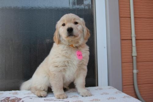 ゴールデンレトリバーの子犬(ID:1247411364)の3枚目の写真/更新日:2017-02-10