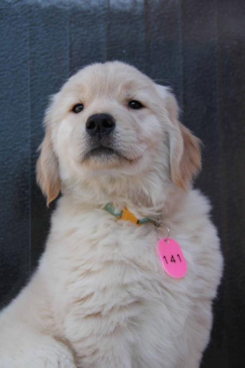 ゴールデンレトリバーの子犬(ID:1247411364)の5枚目の写真/更新日:2017-02-10