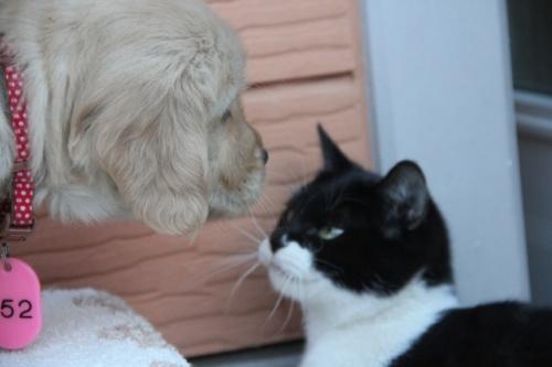 ゴールデンレトリバーの子犬(ID:1247411365)の2枚目の写真/更新日:2017-01-27