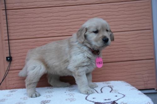 ゴールデンレトリバーの子犬(ID:1247411365)の3枚目の写真/更新日:2017-01-27