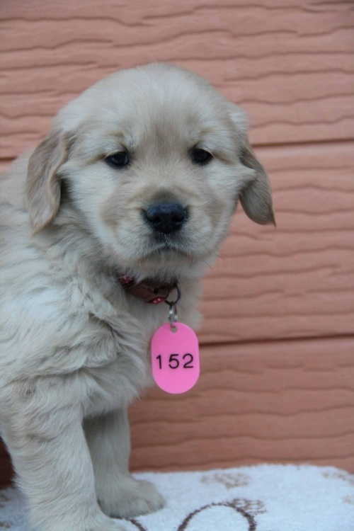 ゴールデンレトリバーの子犬(ID:1247411365)の4枚目の写真/更新日:2017-01-27