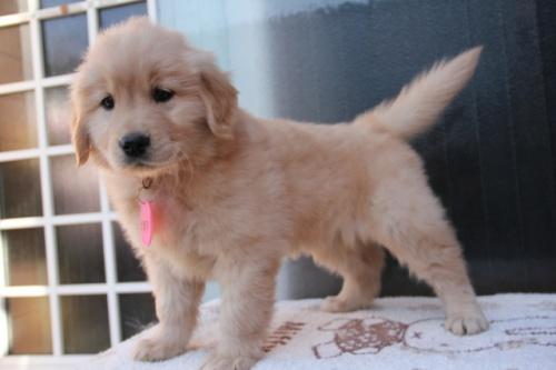 ゴールデンレトリバーの子犬(ID:1247411366)の3枚目の写真/更新日:2017-02-10