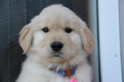 ゴールデンレトリバーの子犬(ID:1247411370)の1枚目の写真/更新日:2017-02-10