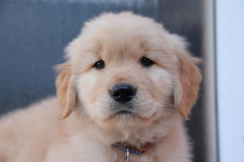 ゴールデンレトリバーの子犬(ID:1247411371)の1枚目の写真/更新日:2017-02-10
