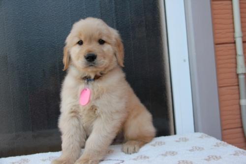 ゴールデンレトリバーの子犬(ID:1247411371)の5枚目の写真/更新日:2017-02-10