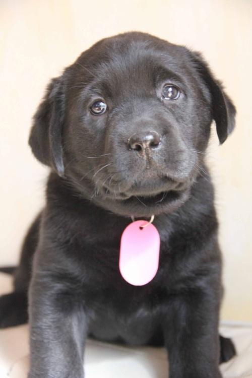 ラブラドールレトリバーの子犬(ID:1247411373)の2枚目の写真/更新日:2017-03-13