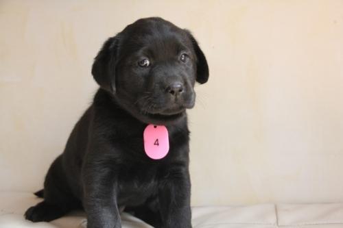 ラブラドールレトリバーの子犬(ID:1247411373)の3枚目の写真/更新日:2017-03-13