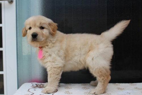 ゴールデンレトリバーの子犬(ID:1247411376)の3枚目の写真/更新日:2017-03-17