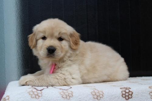 ゴールデンレトリバーの子犬(ID:1247411376)の4枚目の写真/更新日:2017-03-17