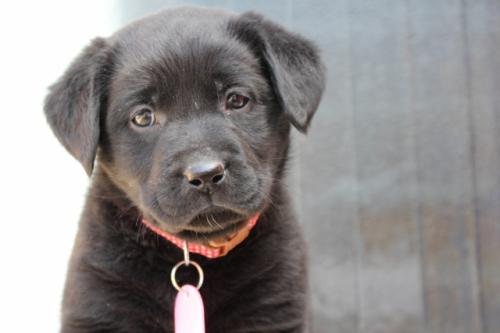 ラブラドールレトリバーの子犬(ID:1247411378)の2枚目の写真/更新日:2017-03-17