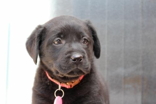 ラブラドールレトリバーの子犬(ID:1247411378)の3枚目の写真/更新日:2017-03-17