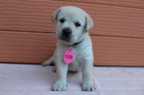 ラブラドールレトリバーの子犬(ID:1247411379)の1枚目の写真/更新日:2017-03-31