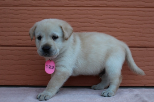 ラブラドールレトリバーの子犬(ID:1247411379)の2枚目の写真/更新日:2017-03-31