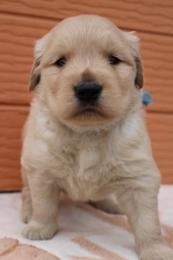 ゴールデンレトリバーの子犬(ID:1247411380)の1枚目の写真/更新日:2017-04-12