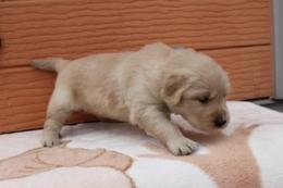 ゴールデンレトリバーの子犬(ID:1247411380)の3枚目の写真/更新日:2017-04-12
