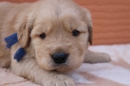 ゴールデンレトリバーの子犬(ID:1247411381)の1枚目の写真/更新日:2017-04-12