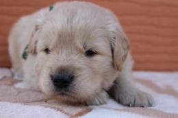 ゴールデンレトリバーの子犬(ID:1247411382)の3枚目の写真/更新日:2017-04-12